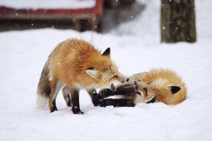 Zorros jugando en nieve