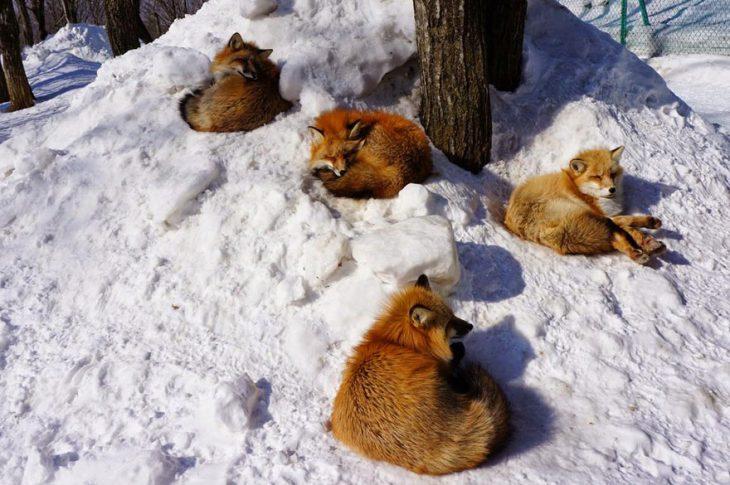 Zorros tomando sol en la nieve