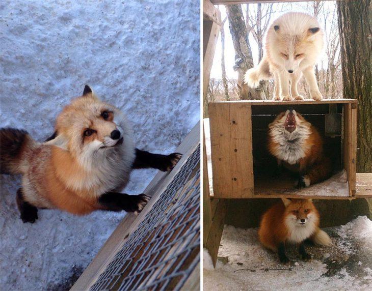 Villa de zorros en Japón