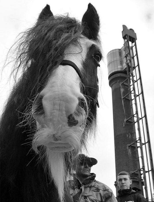 caballo bigotes