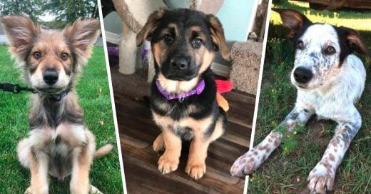 Cover camadas de cruzas con pastor alemán serán los mejores perros
