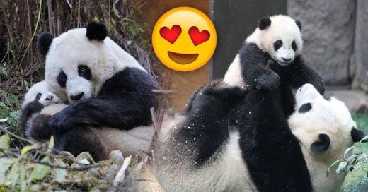 Cover Las mamás pandas son idénticas a los humanos
