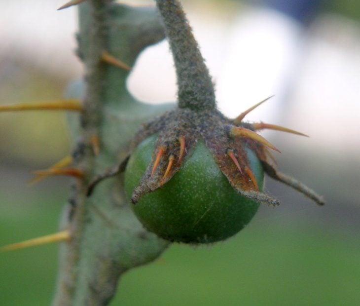 tomatepuerco