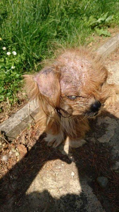 perrito sarna