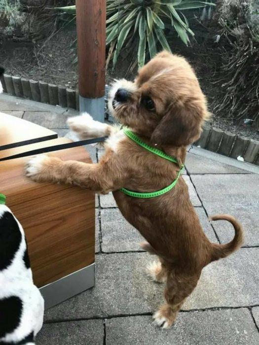 perrito pechera verde