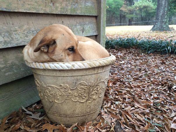 perro maceta