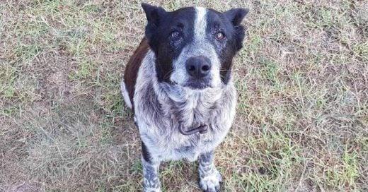 Max, el perro que salvó a una pequeñita de 3 años en australia