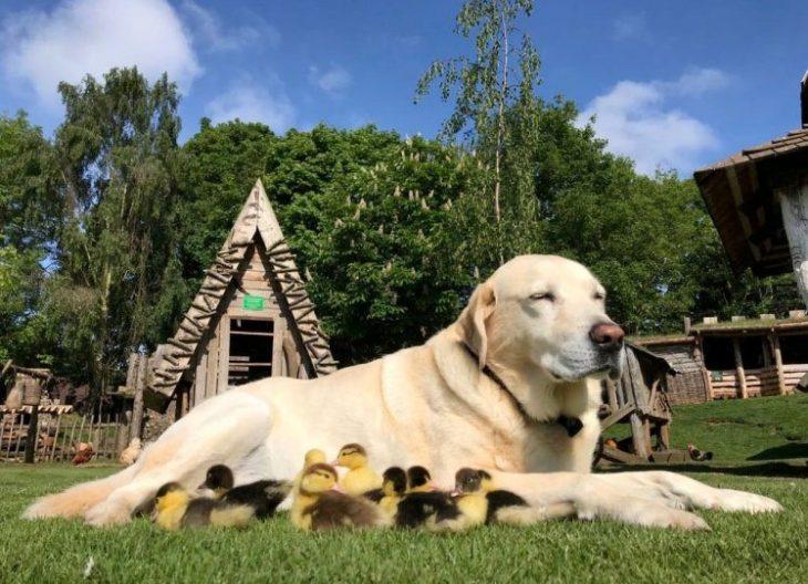 Perro labrador adopta a 9 patitos