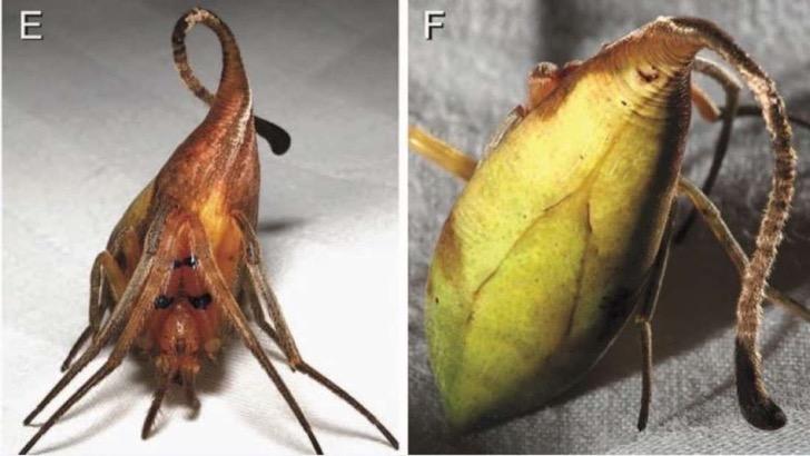 Araña que imita una hoja