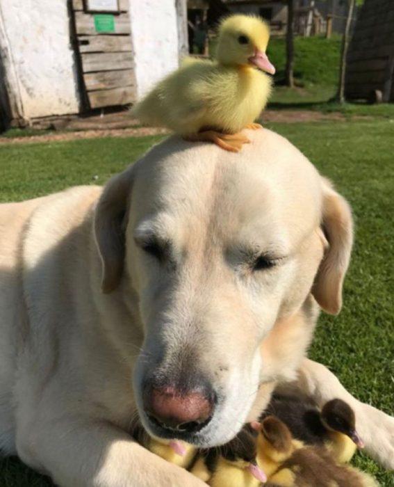 Labrador adopta a 9 patitos Recreo Viral