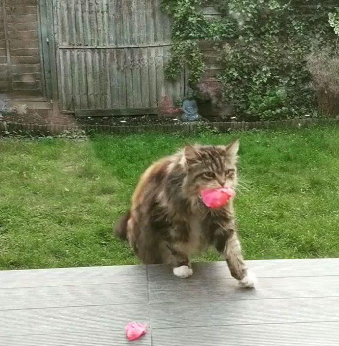 Gatito que regala flores a su dueña admirador secreto