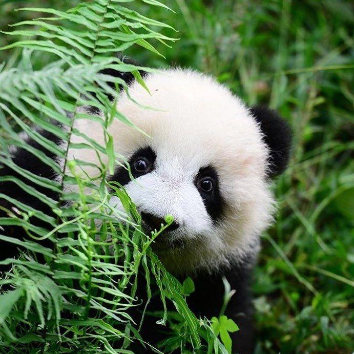 Ositos panda