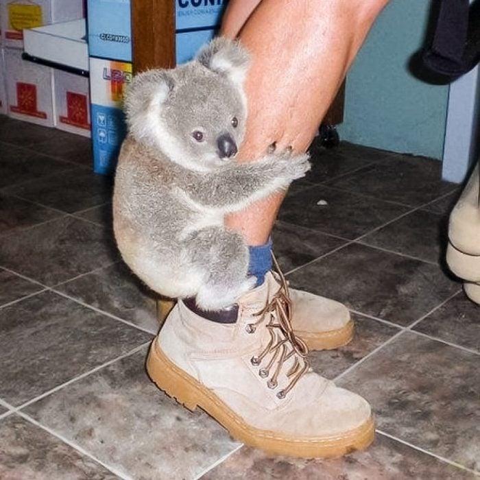koala abrazo
