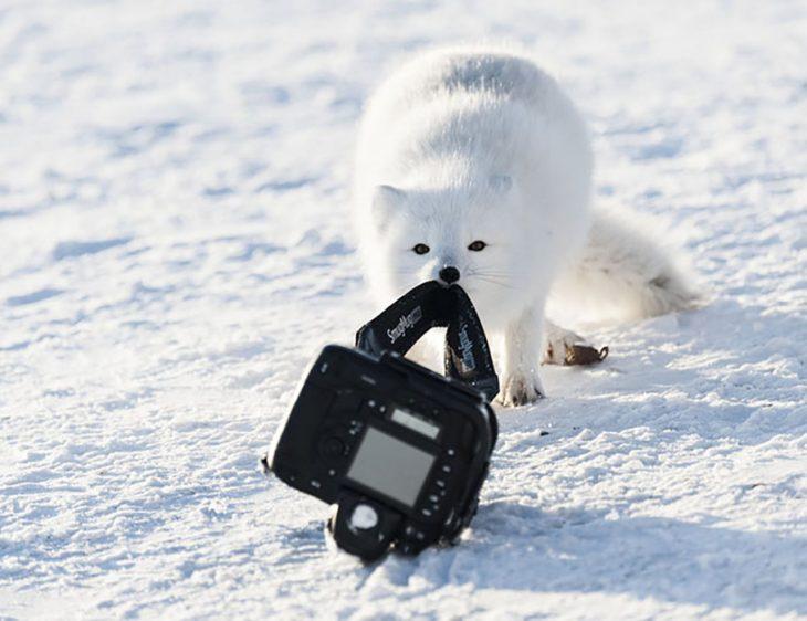 zorro blanco robando cámara