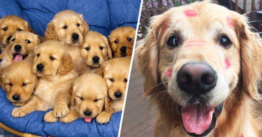 Cover Perritos Golden que se robarán todo el amor de tu corazón
