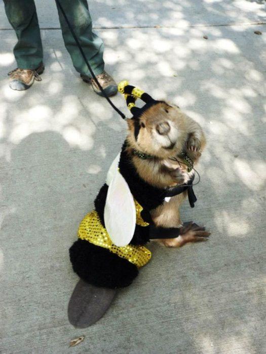 castor disfrazado de abeja