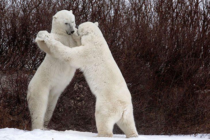 osos polares de pie
