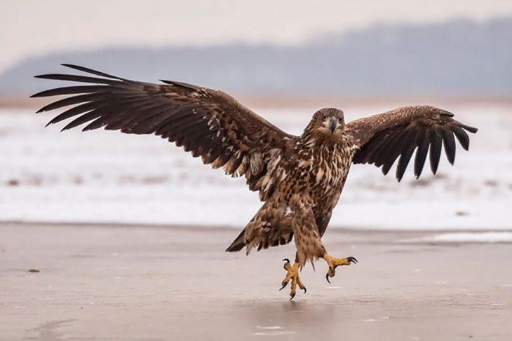 águila con las alas extendidas