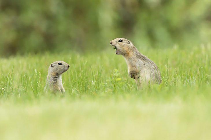 dos perritos de la pradera