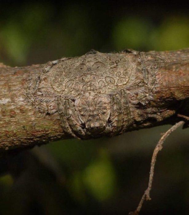 Araña envolvente de Australia