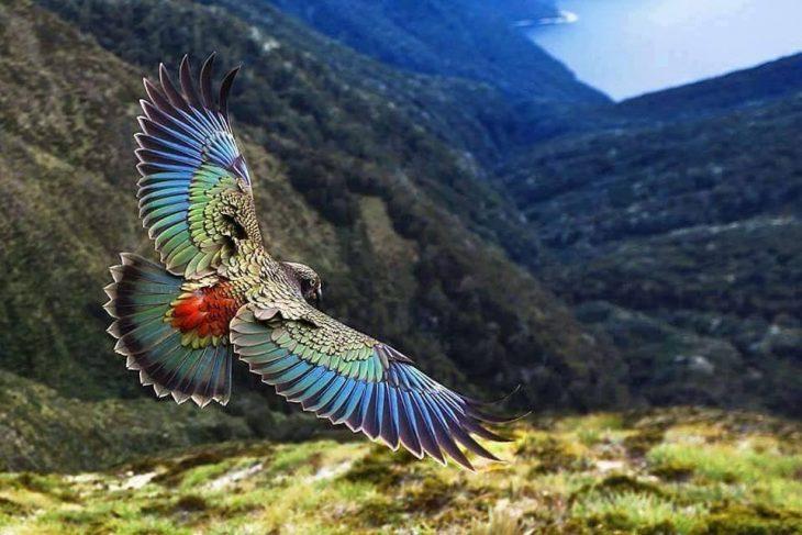 Loro Kea volando sobre los paisajes de Nueva Zelanda