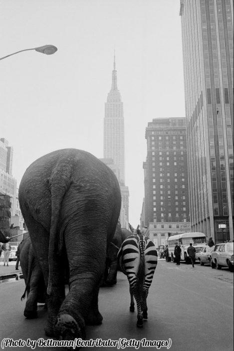 Animales caminando por las calles de Manhattan, 1968