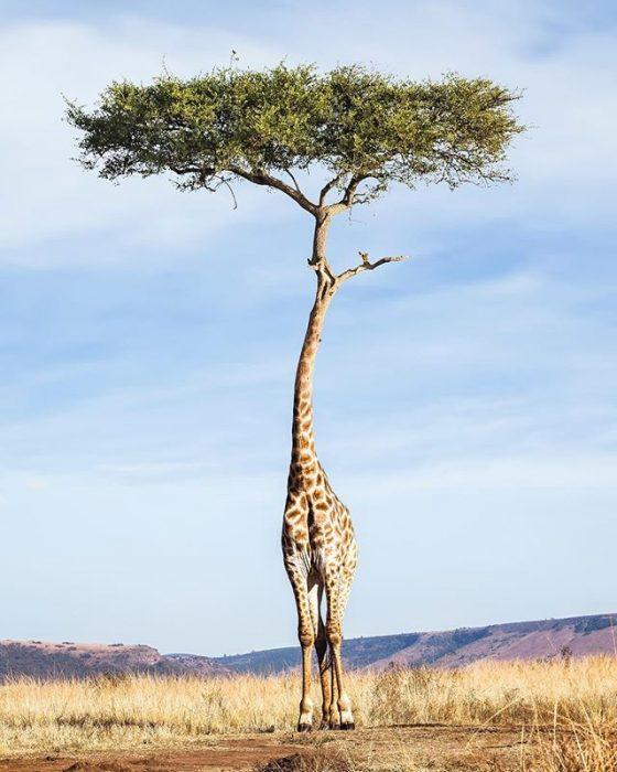 Jirafa árbol