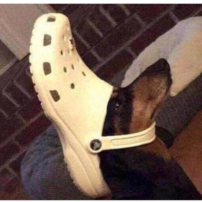 perrito zapato crocs