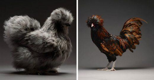 Cover Fotografías del lado más elegante de los pollos