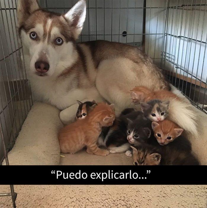 husky con gatitos
