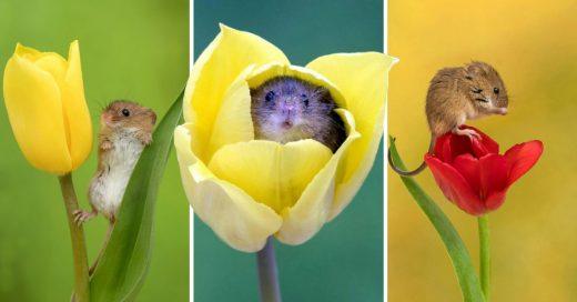 Cover Fotógrafo realizó una sesión con ratoncitos y tulipanes