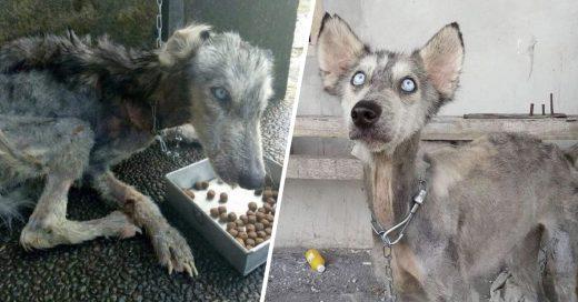 Cover perrita husky fue rescatada de la calle