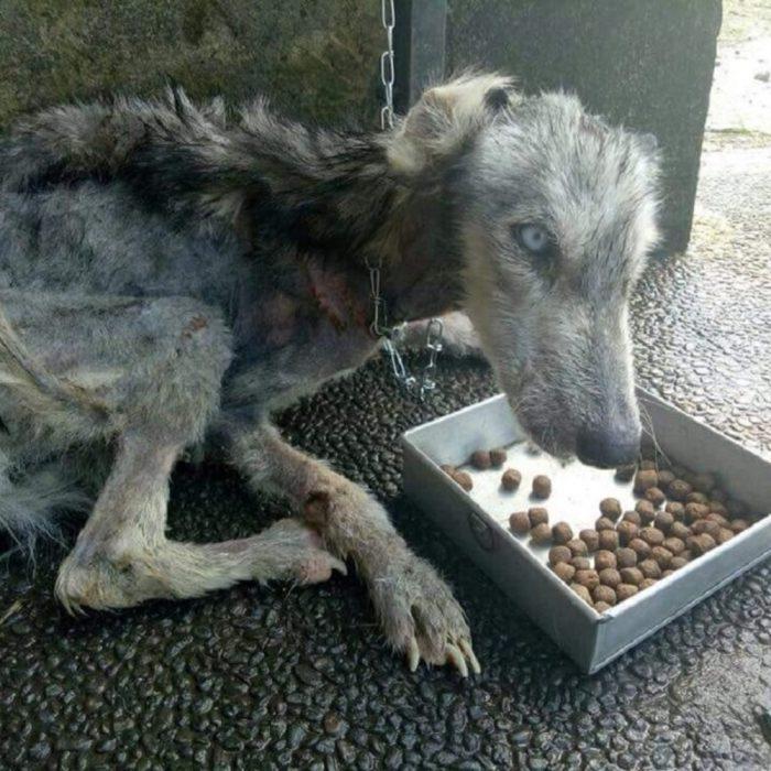 husky rescatado