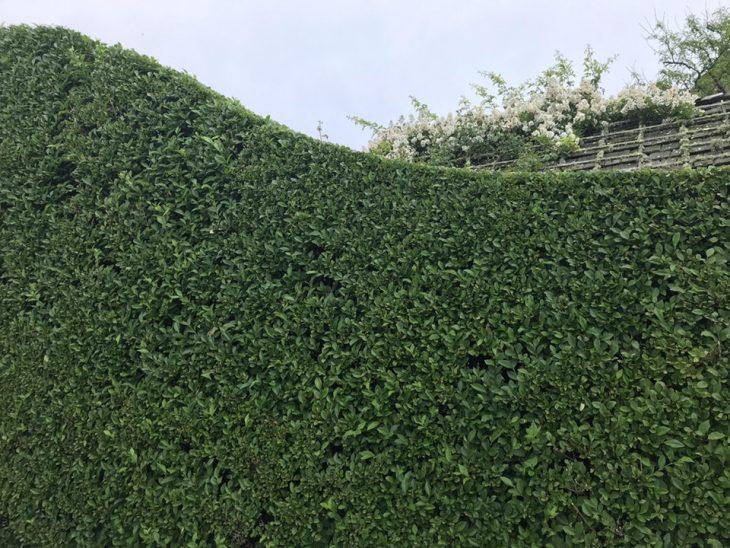 arbusto podado