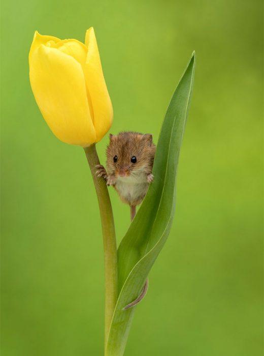 ratón en tulipan