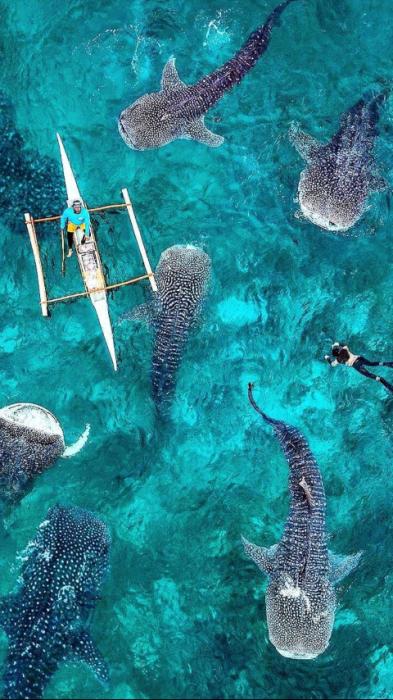 hombre nadando entre tiburones ballena