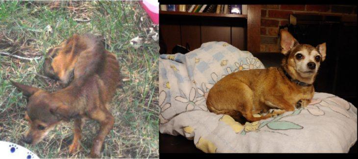 perrito y chihuahua antes y después