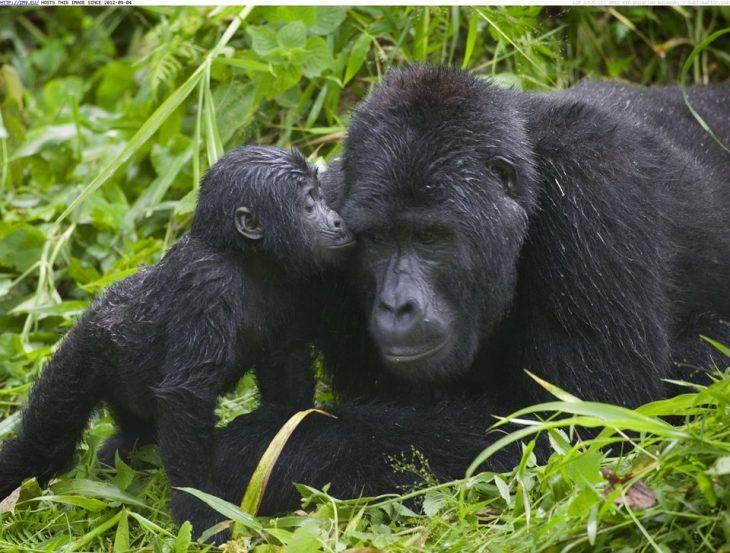 amorosa madre gorila en Uganda