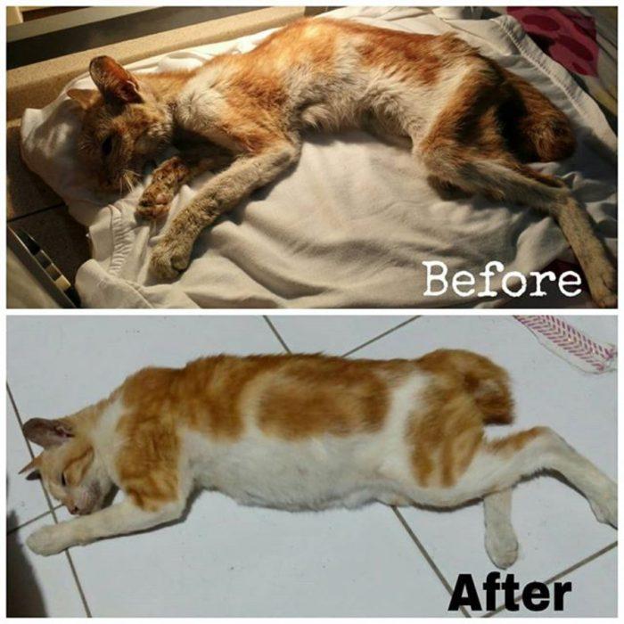 gatito desnutrido vs el mismo gatito pero bien comido