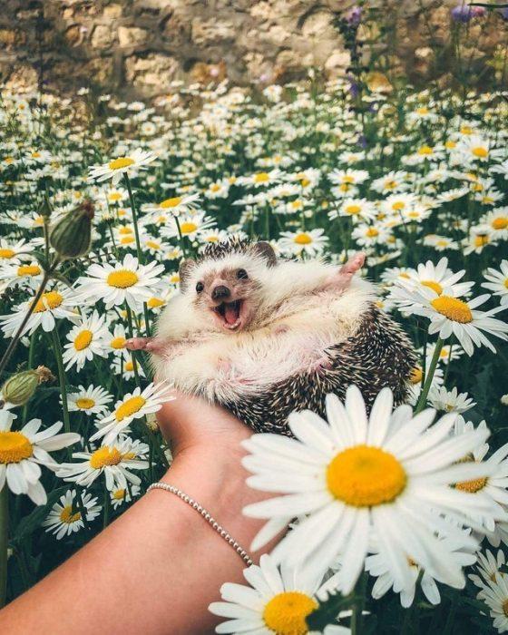 erizo en campo de flores
