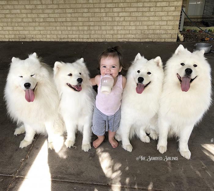 Familia de perros Samoyedos