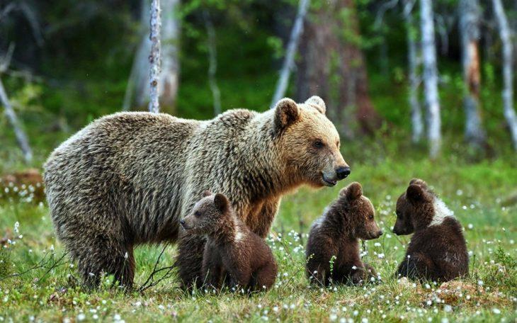 Mamá osa cuidando a sus bebés