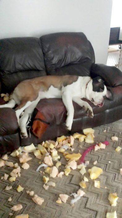 perrita acostada después de destruir un sillón