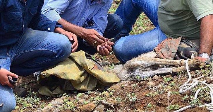 Lobo con cabeza atrapada en recipiente
