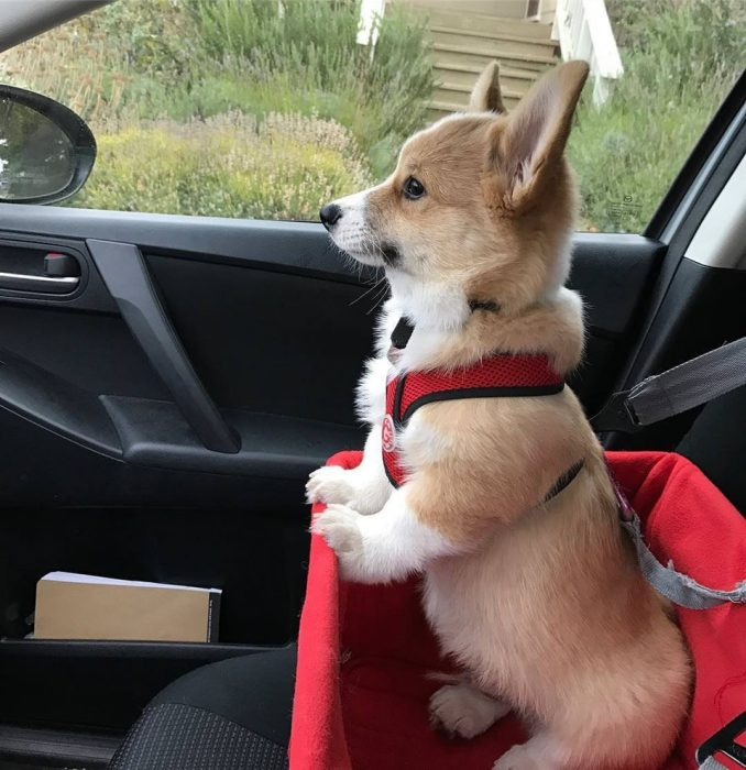 corgi en auto