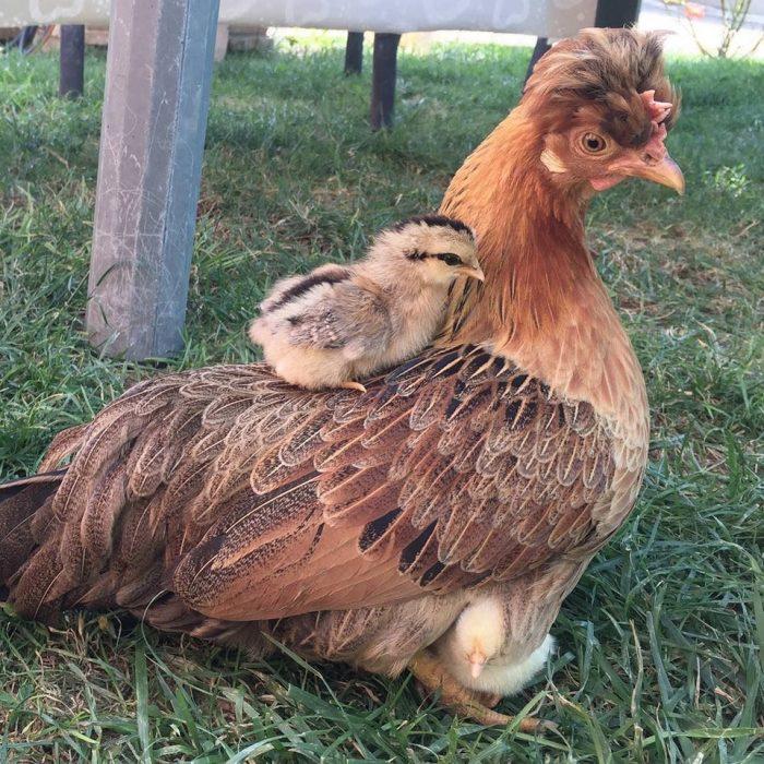gallina con su pollito
