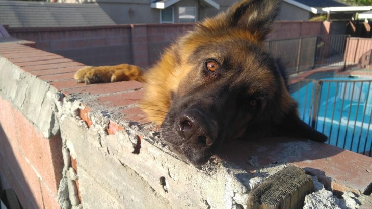 perrito pastor alemán
