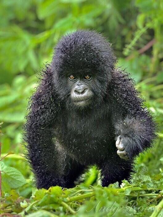 gorila con cabello rizado