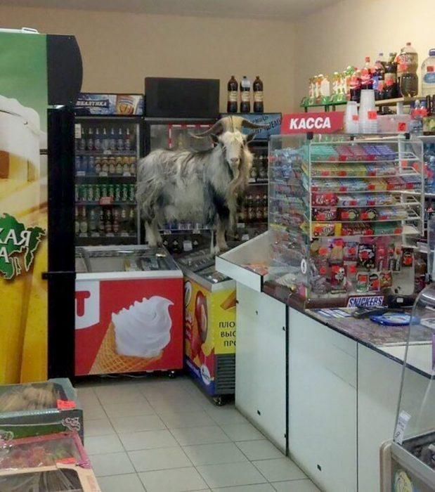 cabra sobre refrigerador de helados