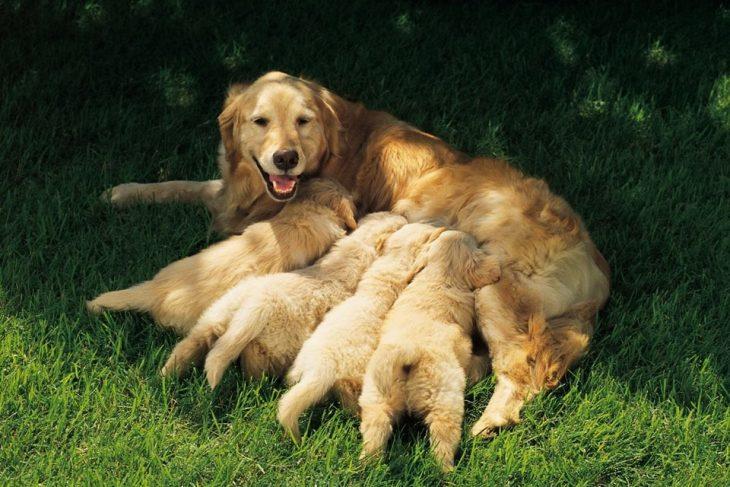 mamá golden retriever y sus cachorros